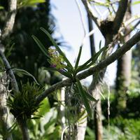 Цветущий Ascocentrum на ветке дерева