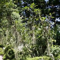 Необыкновенно длинные корни Ванд и Аскоценд