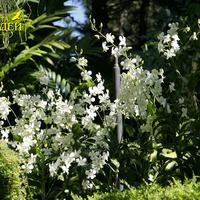 Цветение Дендробиума гибридного