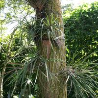 Тилландсии  на дереве