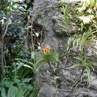 У многих Аскоценд отсутствуют нижние листья.Вероятно, процесс адаптации к условиям на камнях был болезненным