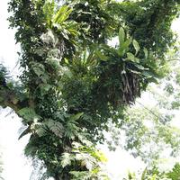 Дерево недалеко от входа, обросшее папоротниками и орхидеями