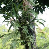 Цветение Anachelium  fragrans около оранжереи