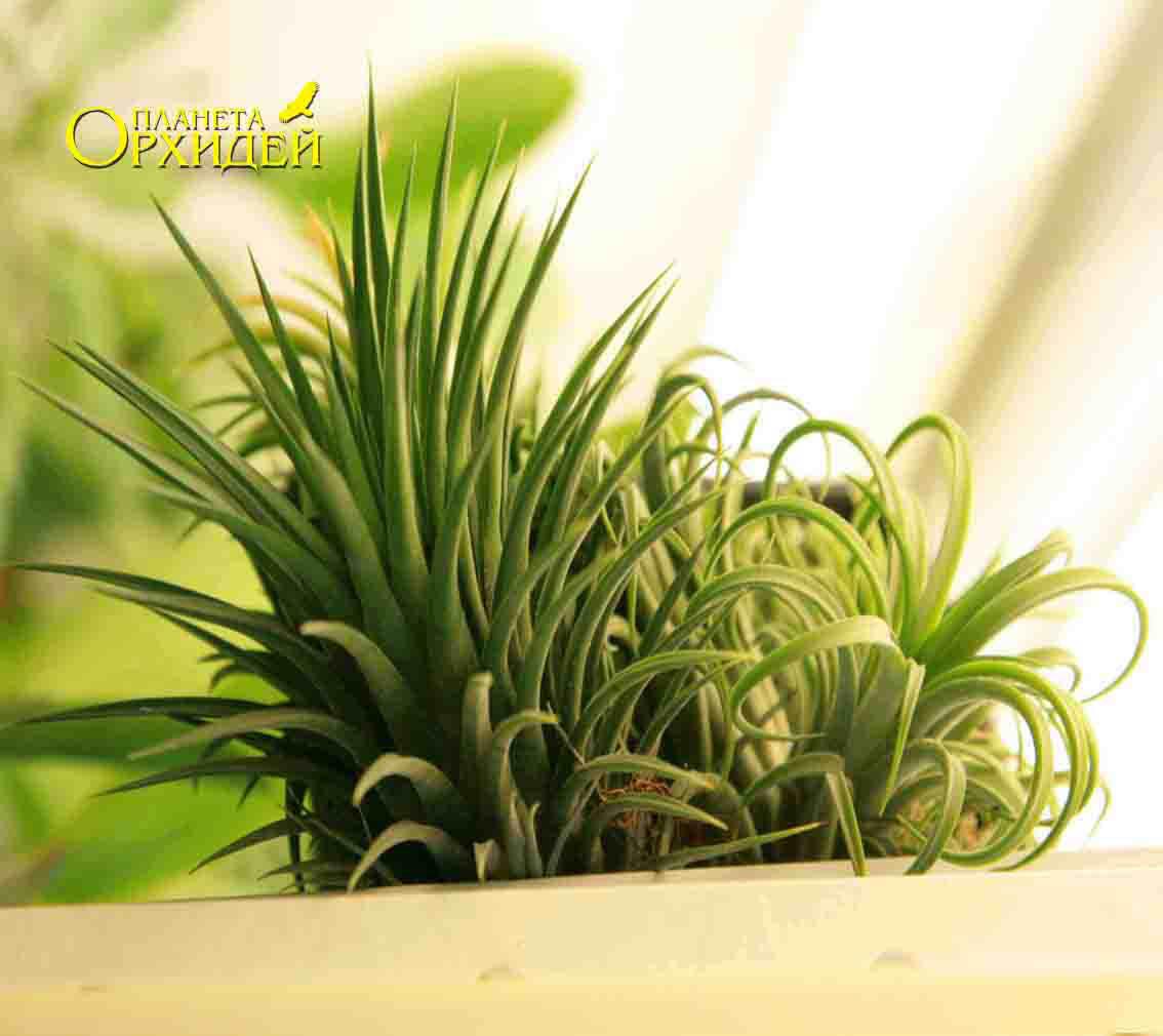 Тилландсия зеленая уход в домашних условиях фото