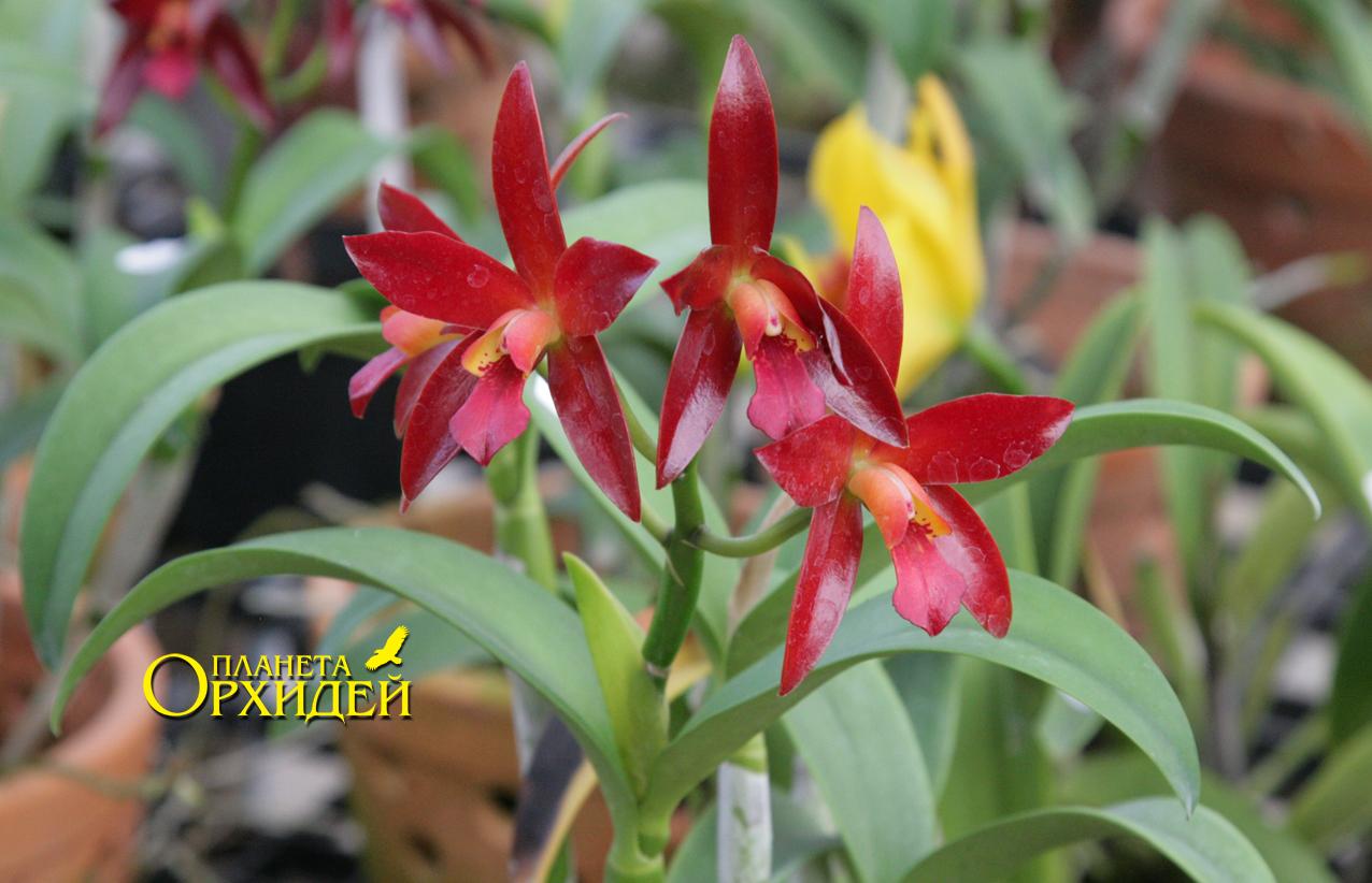 каттлея орхидея уход: