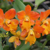 орхидея Каттлея гибридная двулистная