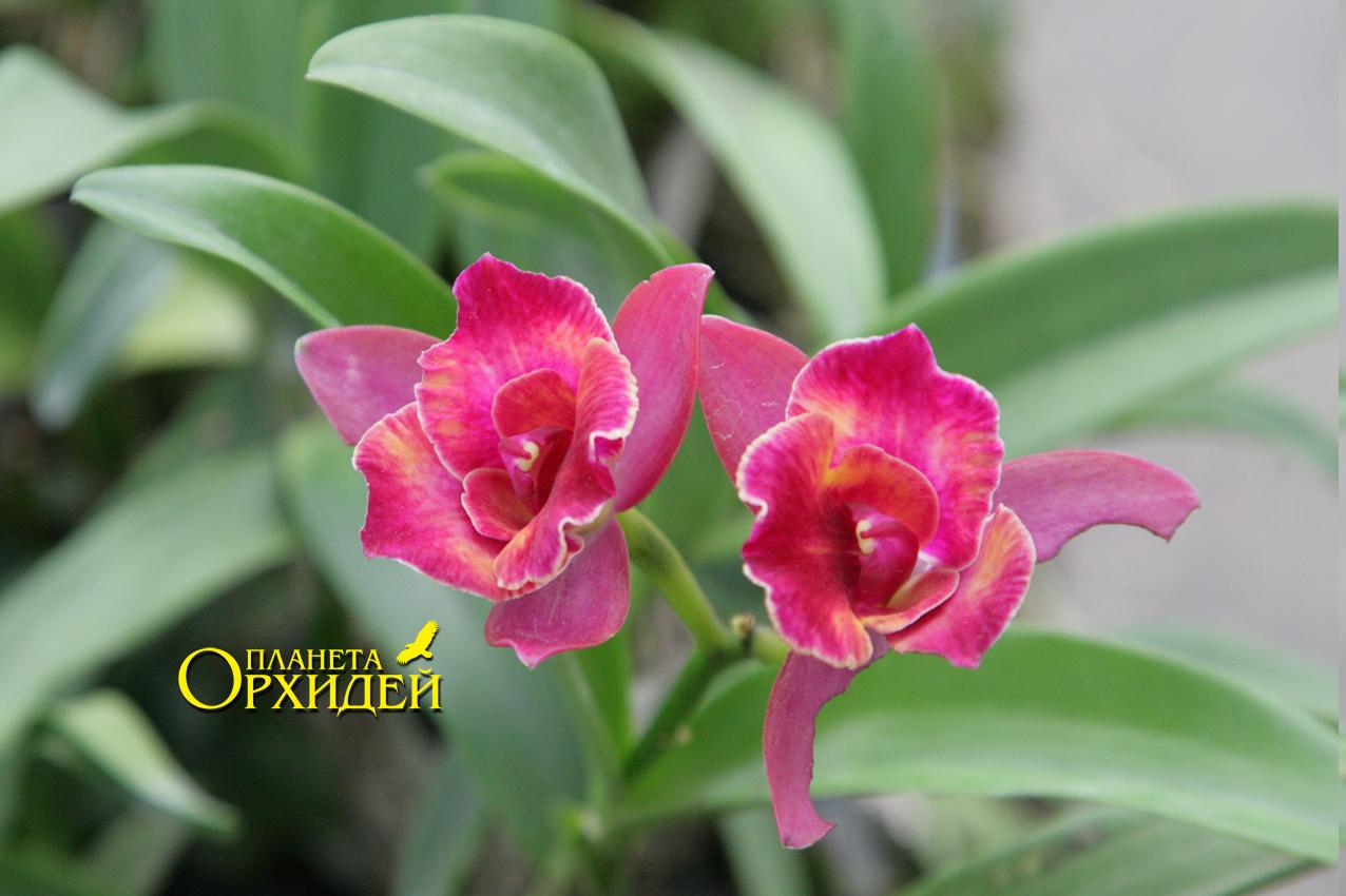 уход за орхидеей после цветения в домашних условиях как обрезать