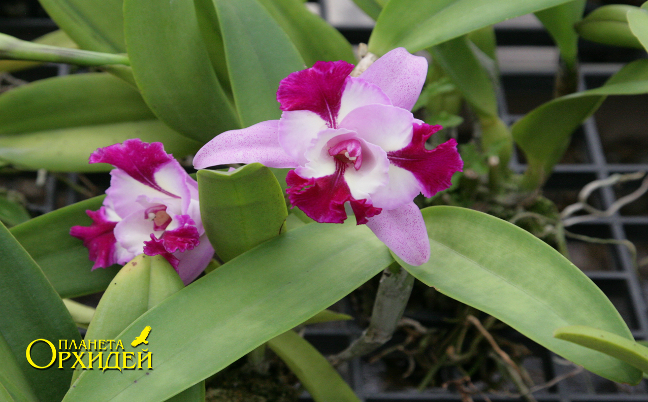 уход для орхидей выращивание в домашних условиях