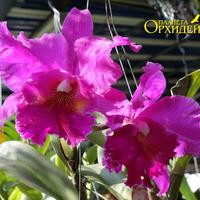 Выращивание орхидеи Каттлея гибридная