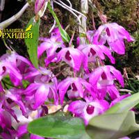Уход Dendrobium nobile hybrid