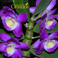 орхидея Дендробиум благородный