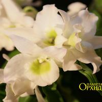 Выращивание орхидеи Дендробиум