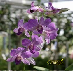 орхидея Дендробиум  гибридный