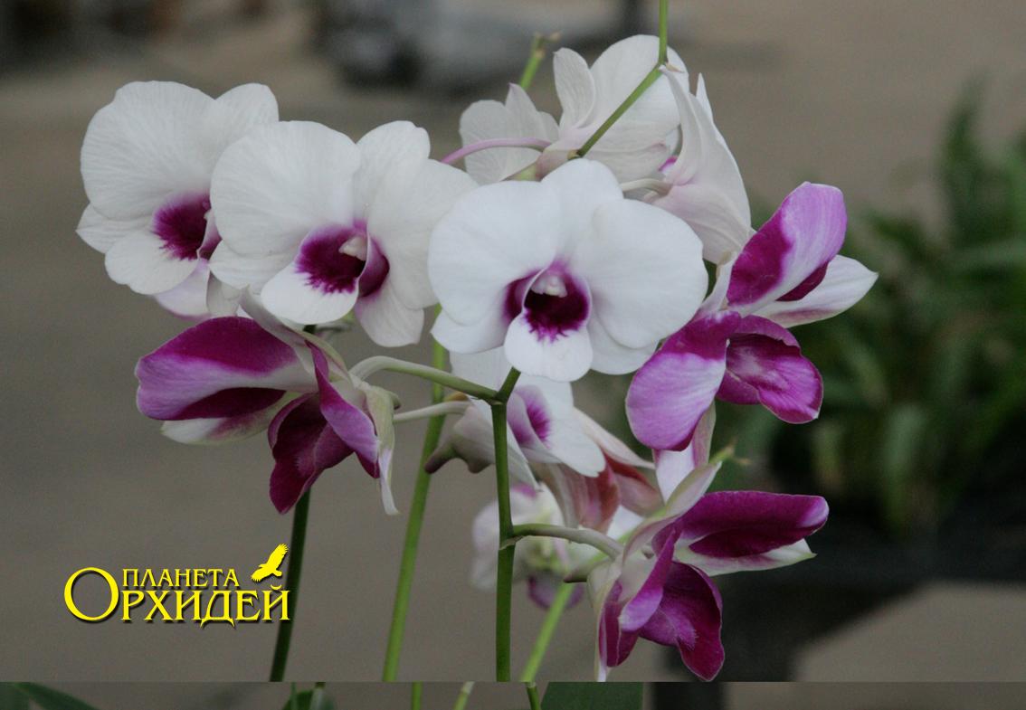 Орхидея дендробиум и фаленопсис уход в домашних условиях 66