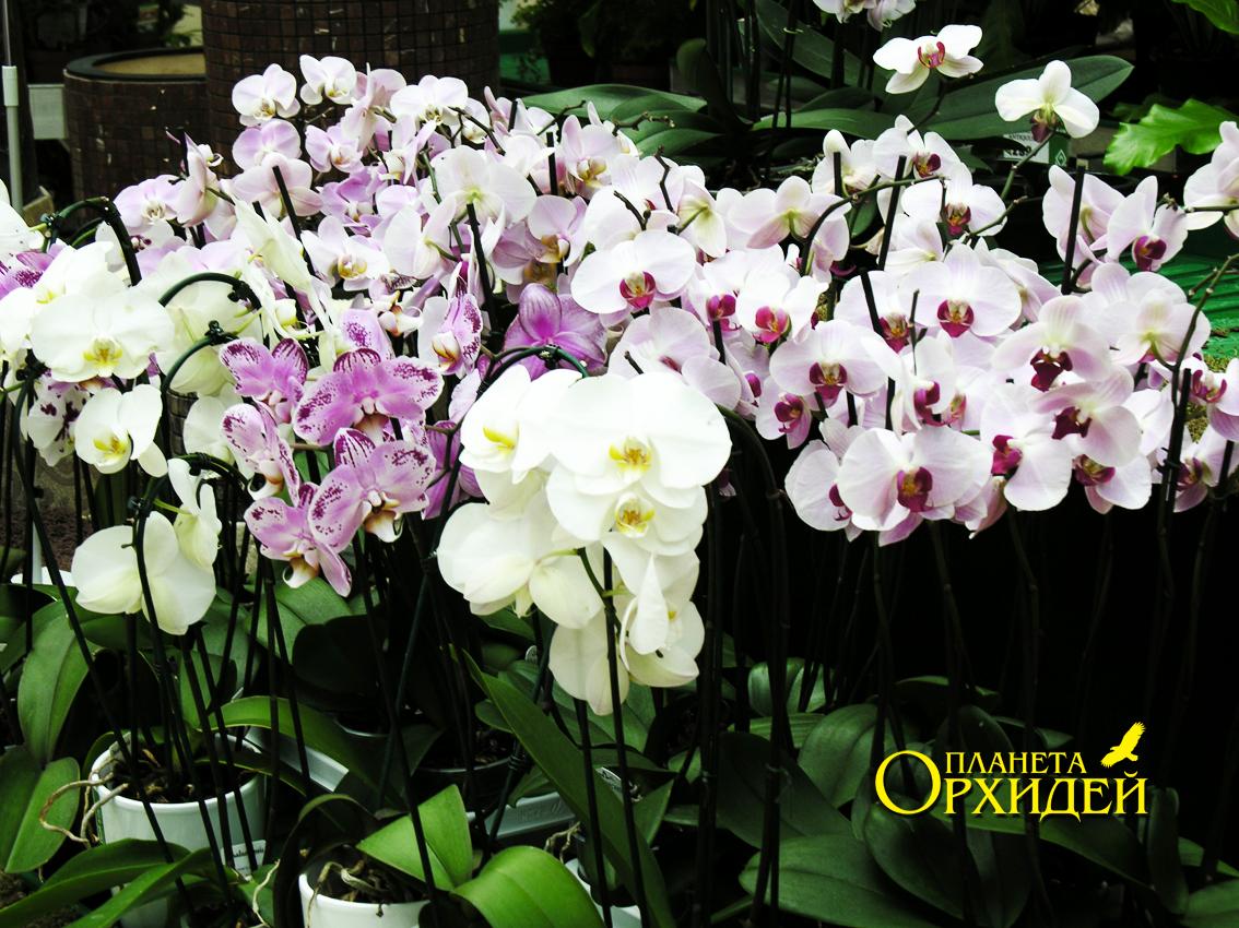 Орхидея дендробиум и фаленопсис уход в домашних условиях 78