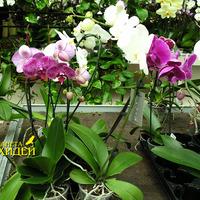 фото орхидея фаленопсис гибридный