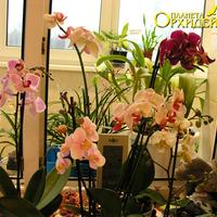фото орхидея фаленопсис