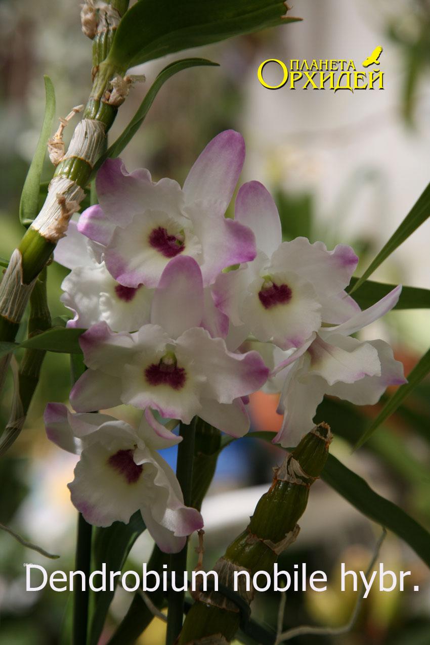 Цветы дендробиум: описание с фотографиями, как правильно