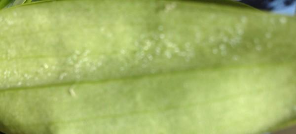 фото трипсы на орхидеях
