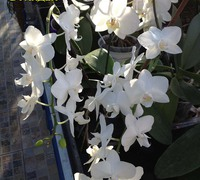 Phalaenopsis__aphrodite<br>