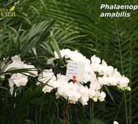 Phalaenopsis_amabilis<br>