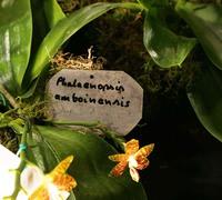 Phalaenopsis_amboinensis_(2)<br>