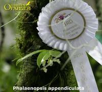 Phalaenopsis_appendiculata_var._alba<br>