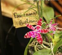 Phalaenopsis_bastianii<br>