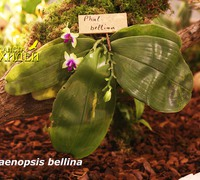 Phalaenopsis_bellina_(2)<br>