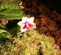 Phalaenopsis_bellina_(3)<br>