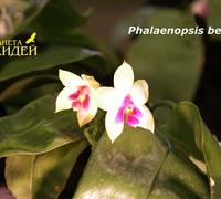 Phalaenopsis_bellina_(4)<br>