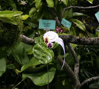 Phalaenopsis_bellina_(6)<br>