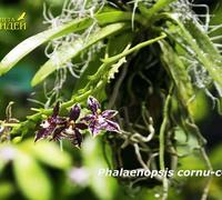 Phalaenopsis_cornu-cervi_(2)<br>