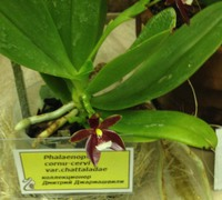 Phalaenopsis_cornu-cervi_(3)<br>
