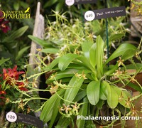 Phalaenopsis_cornu-cervi_(4)<br>