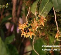 Phalaenopsis_cornu-cervi_(5)<br>