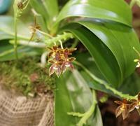 Phalaenopsis_cornu-cervi<br>