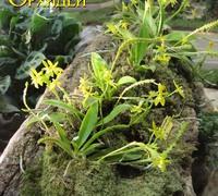 Phalaenopsis_cornu-cervi_var._alba<br>
