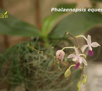 Phalaenopsis_equestris_(2)<br>