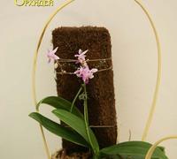 Phalaenopsis_equestris_(3)<br>