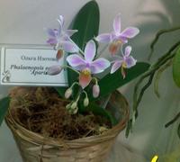 Phalaenopsis_equestris<br>