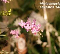 Phalaenopsis_equestris__'struber;<br>
