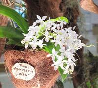 Phalaenopsis_equestris_var._alba_(2)<br>