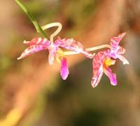 Phalaenopsis_fascida<br>