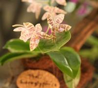 Phalaenopsis_hieroglyphica_(2)<br>