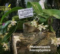 Phalaenopsis_hieroglyphica_(4)<br>