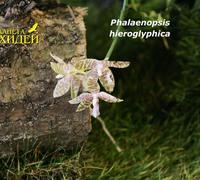 Phalaenopsis_hieroglyphica_(5)<br>