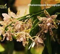Phalaenopsis_hieroglyphica<br>