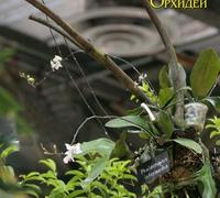 Phalaenopsis_intermedia<br>