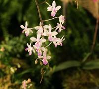 Phalaenopsis_lindenii_(2)<br>